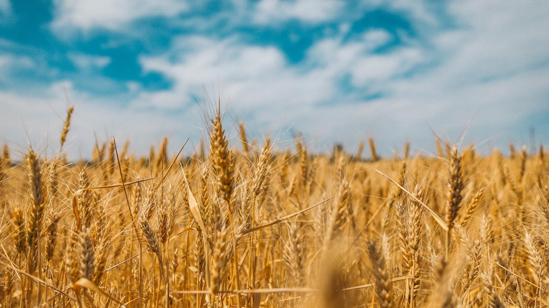 Sistema de gestão do reconhecimento do trigo